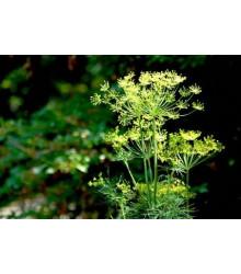 Kopr Virling - Anethum graveolens - prodej semen - 500 ks