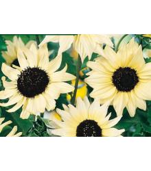 Slunečnice slabá směs barev - Helianthus debilis - prodej semen - 7 ks
