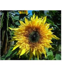 Slunečnice Topolino - Helianthus annuus - prodej semen - 7 ks