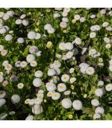 Sedmikráska pomponková bílá - Bellis perennis - prodej semen sedmikrásky - 0,1 g