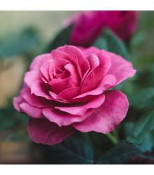 Růže velkokvětá pnoucí tmavě růžová - Rosa - prodej prostokořenných sazenic růží - 1 ks