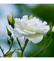Růže velkokvětá pnoucí bílá - Rosa - prodej prostokořenných sazenic růží - 1 ks
