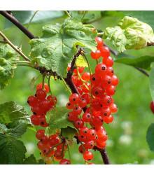 Rybíz červený - Ribes sylvestre - prodej prostokořenných sazenic rybízů - 1 ks