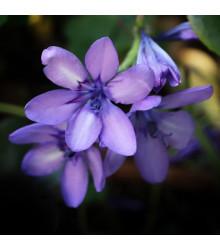 Babiana Kew Hybrids - Babiana stricta - prodej prostokořenných sazenic babian - 3 ks