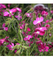 Lobelka drobná Riviera Rose - Lobelia erinus - prodej semen lobelky - 0,1 g