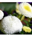 Sedmikráska chudobka Tasso bílá - Bellis perennis - prodej semen sedmikrásky - 50 ks