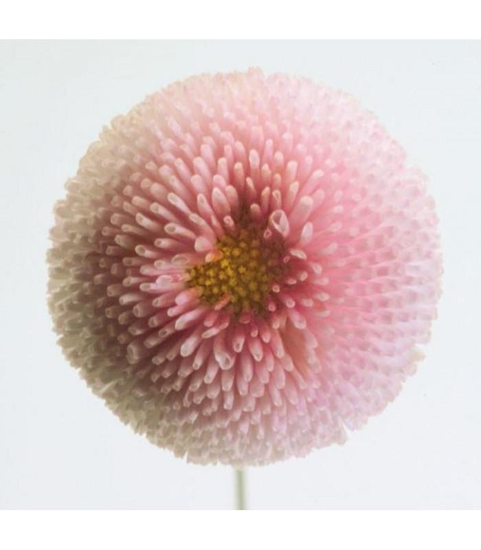 Sedmikráska chudobka Tasso růžová - Bellis perennis - prodej semen sedmikrásky - 50 ks